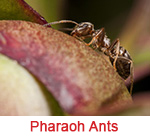 Pharaoh Ant Extermination Sandy Springs GA